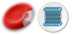 image of red blood cell membrane